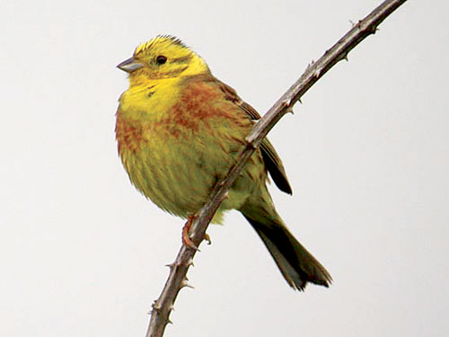 The yellowhammer — in danger of extinction?