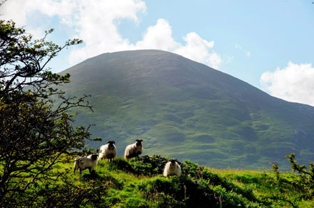 A scenic shot of sheep grazing on rolling green hills in Mulranny - Mayo has mass appeal for Irish holidaymakers. Photo courtesy of Failte Ireland.