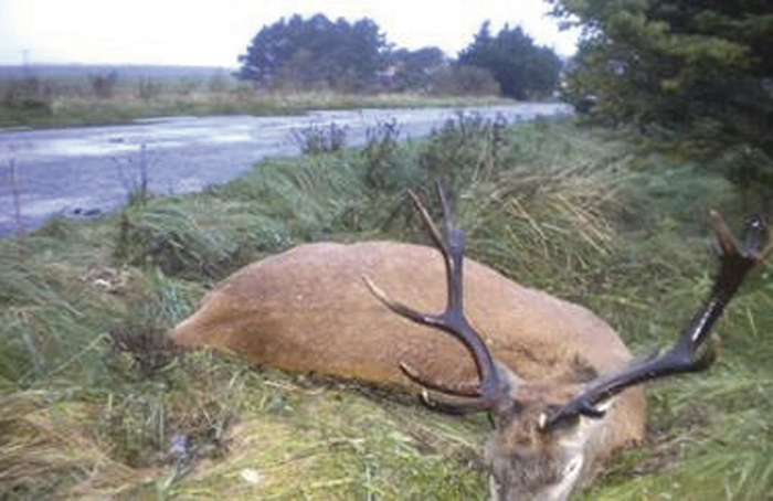 A  red deer stag that was struck by a car on the N59 between Crossmolina and Bellacorrick, resulting in the death of the deer and also considerable damage to the car involved.