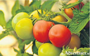 The taste of summer - home ripened tomatoes