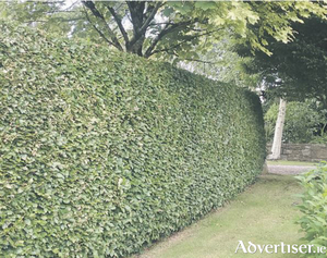 A crisply trimmed hedge is the perfect way to divide a garden.