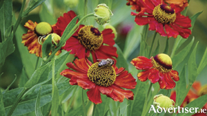 Open flowers such as these heleniums are ideal for attracting beneficial insects.