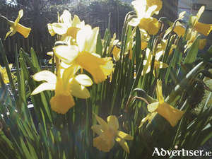 Spring sunshine slanting through dwarf Narcissus Tete a Tete