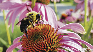 Coneflowers or Echinacea are beloved by bees