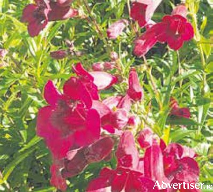 Ruby penstemons add a glow to the border