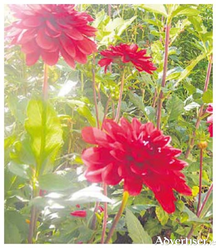 Dahlias - nothing beats them for late summer colour