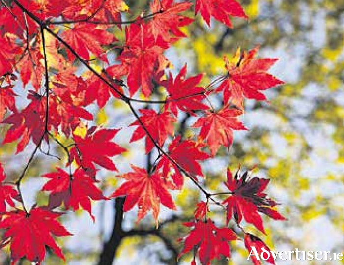 Acers are hard to beat for blazing colour.