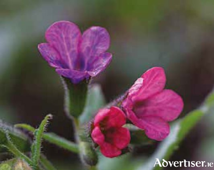 The flowers of pulmonaria can fade from blue to pink