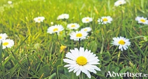 Daisies in the lawn - to weed or not to weed?