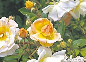 Climbing roses look lovely but need careful pruning