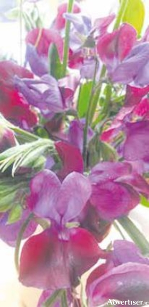 The old-fashioned purple Matucana sweet peas have exquisite perfume
