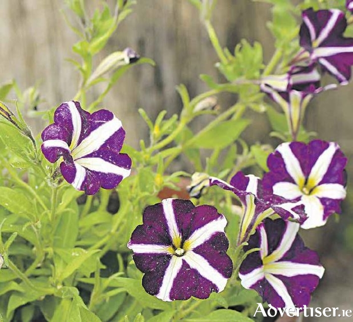 Petunias - here in stripy purple - are a super choice for summer containers