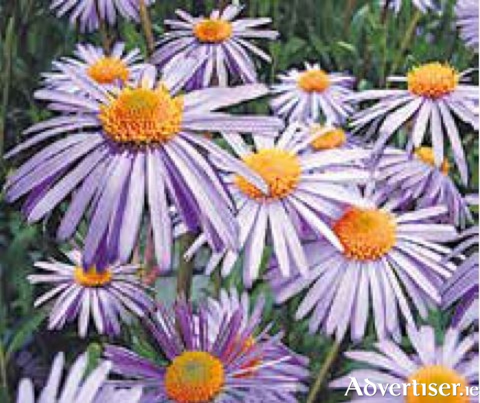Asters, or Michaelmas daisies, are good