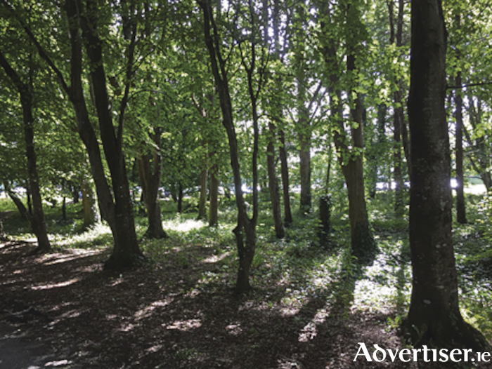 Deciduous woodland along the Biodiversity Trail at NUI Galway. Photo: NUI Galway.