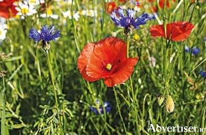 Cornflowers and poppies add bright colour in late summer