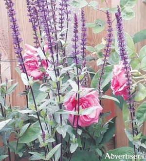 "Blue spires of salvia ""Caradonna"""