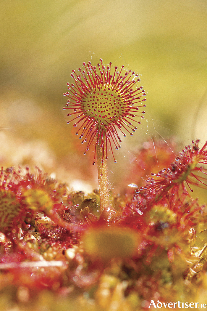 Round leafed sundew in bright sunshine, her tentacles fully extended.
