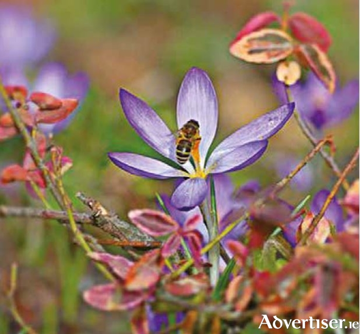 Bees need the pollen from early crocuses when little else is in bloom