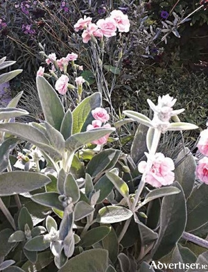 Silvery grey foliage of Stachys byzantina suits the pale pink Dianthus Doris