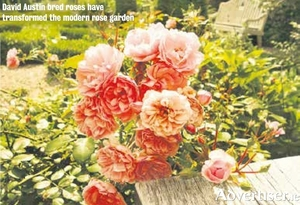 David Austin bred roses have transformed the modern rose garden.
