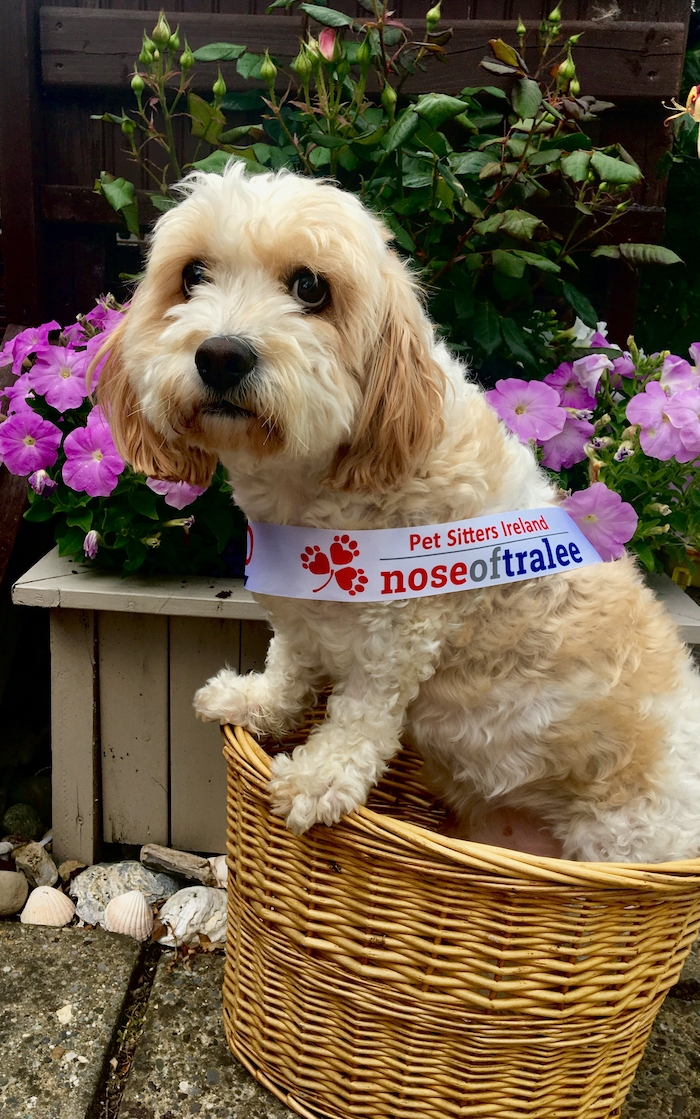 Mayo's Nose of Tralee entrant Harley - you can vote for Harley on https://petsittersireland.com/nose-of-tralee/.