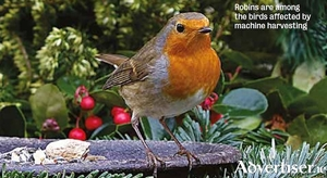 Robins are among the birds affected by machine harvesting.