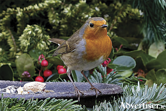 Robins are among the birds affected by machine harvesting