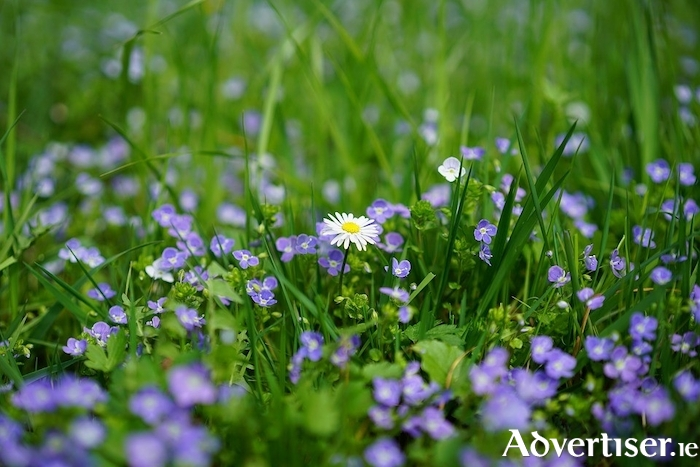 Daisies and speedwell are pretty wildflowers but regarded as weeds