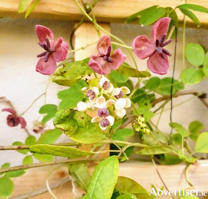 Tie in the new shoots of climbing plants as they grow