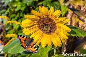 Bees and butterflies love sunflowers - but be sure to stake those lovely tall stems