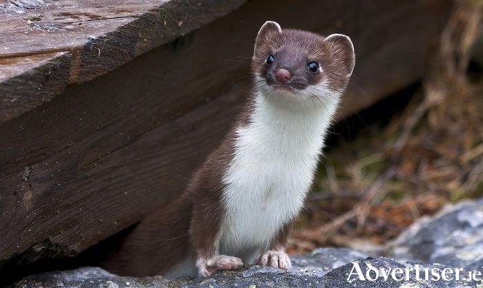 Stoats have other ideas about the planned exhibition for Knocknahay's Kathleen O'Mara Residential Centre for the Arts.