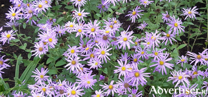 Asters or Michaelmas daisies bring gentle colour to early autumn borders.