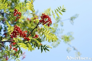 You will know Sorbus aucuparia, the native rowan, by its clusters of scarlet berries