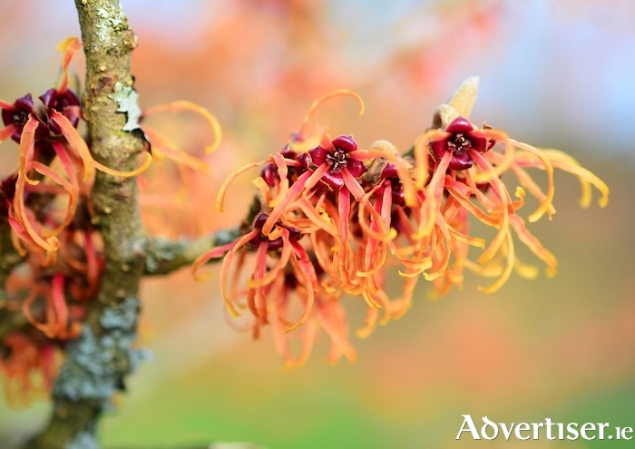Strange but stunning - the unusual, highly fragrant flowers of witch hazel.